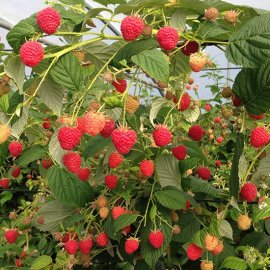 Raspberry 'Paris' (6 cell grown plants)