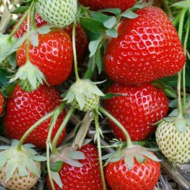 Strawberry Plants 'Fenella' (12 plants)