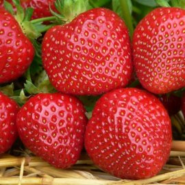 Strawberry Plants 'Malwina' (12 plants)