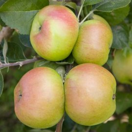 Apple Tree 'Bramley's Seedling'