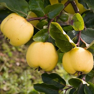 Quince Tree 'Serbian Gold'