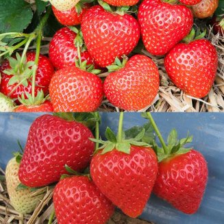 Best of British Strawberry Plant Collection (24 plants)