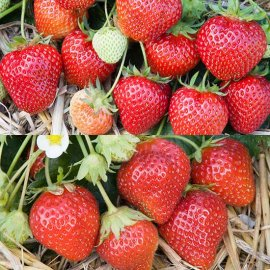 Strawberry Plant Collection (24 plants)