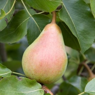 Pear Tree 'Beth'