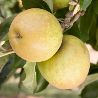 Cordon Apple 'Herefordshire Russet'