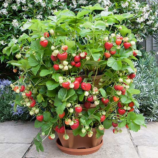 3 Tier Strawberry Planter: STRAWBERRY FAIR...
