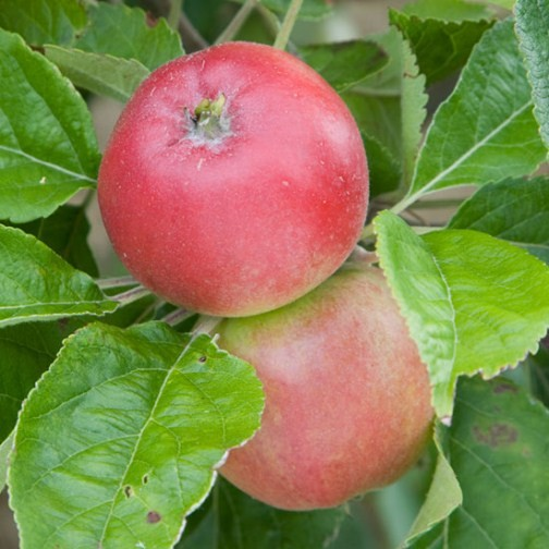 Cordon Apple 'Beauty of Bath' - Click Image to Close