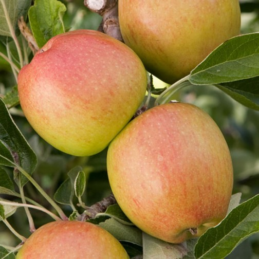 Cordon Apple 'Braeburn Hillwell' - Click Image to Close