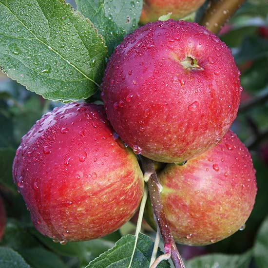 Apple Tree 'Core Blimey' - Click Image to Close