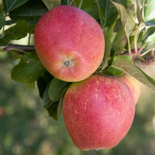 Apple Tree 'Kidd's Orange Red' - Click Image to Close