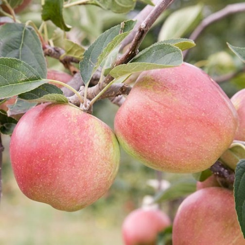 Stepover Apple 'Laxton's Superb' - Click Image to Close