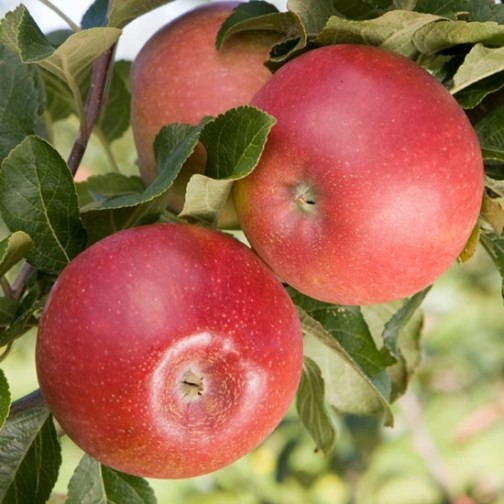 Cordon Apple 'Red Windsor' (Pot Grown) - Click Image to Close