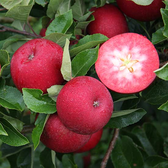 Apple Tree 'Rosette' - Click Image to Close