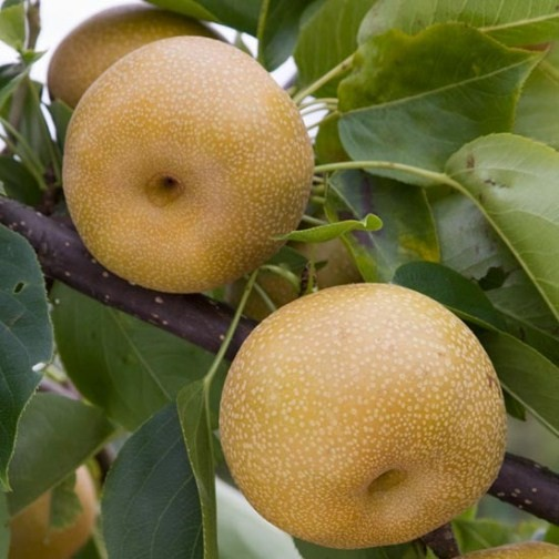 Nashi Pear Tree 'Kumoi' - Click Image to Close