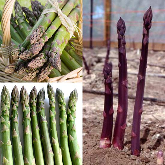 Asparagus Collection (18 crowns)