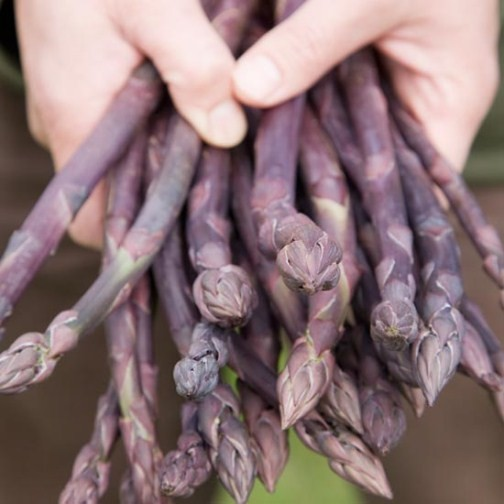 Asparagus 'Stewarts Purple' (12 crowns)