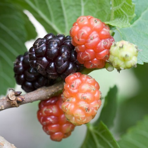 Black Mulberry Tree 'Chelsea' (Pot Grown) - Click Image to Close