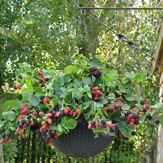 Trailing Blackberry 'Black Cascade' (3 plants) - Click Image to Close