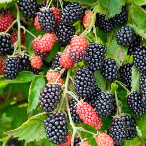 Buy Fruit: Blackberry Bush 'Loch Ness' : Pomona Fruits, Buy Fruit Trees, Soft Fruit Bushes, Apple Trees