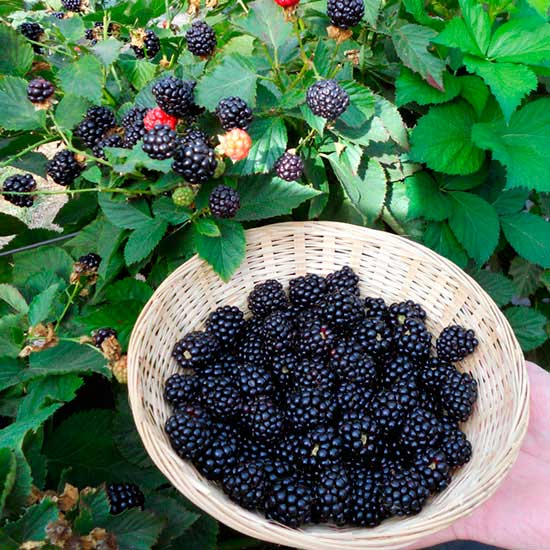 Blackberry Bush 'Reuben' - Click Image to Close