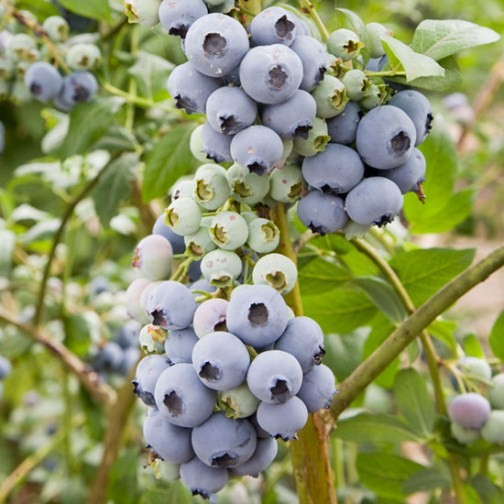 Blueberry Bush 'Bluecrop' - Click Image to Close