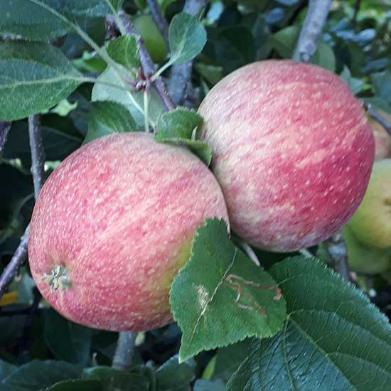 Cider Apple Tree 'Helen's Apple' - Click Image to Close
