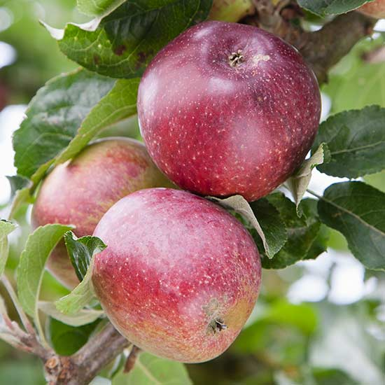 Cider Apple Tree 'Kingston Black' - Click Image to Close