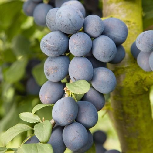 Buy Fruit: Damson Tree 'Farleigh' : Pomona Fruits, Buy Fruit Trees, Soft Fruit Bushes, Apple Trees