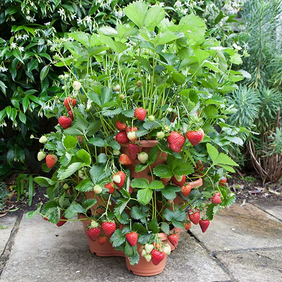 3 Tier Strawberry Planter: 3-Tier Strawberry Planter + 18 Strawberries