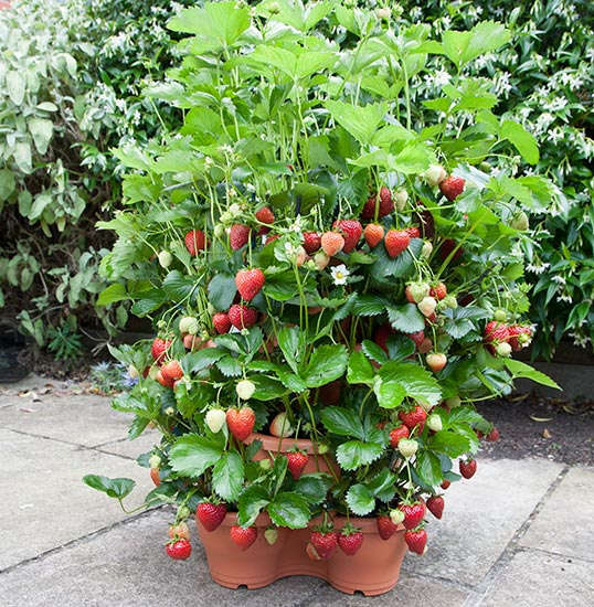 3 Tier Strawberry Planter: 4-Tier Strawberry Planter