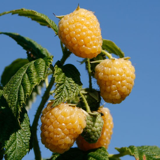 Fruit Trees & Bushes Raspberry 'Allgold' (6 cell grown plants)