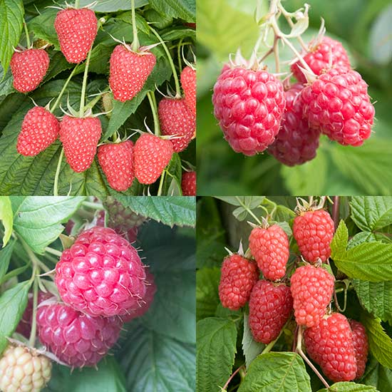 Raspberry Collection (12 cell grown plants)