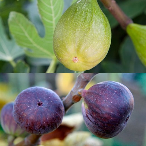 Fig Tree Collection (2 plants)
