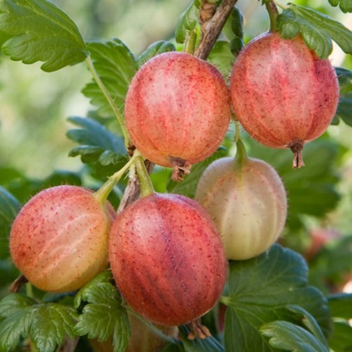 Gooseberry Bush 'Captivator' : Pomona Fruits, Buy Fruit Trees, Soft ...