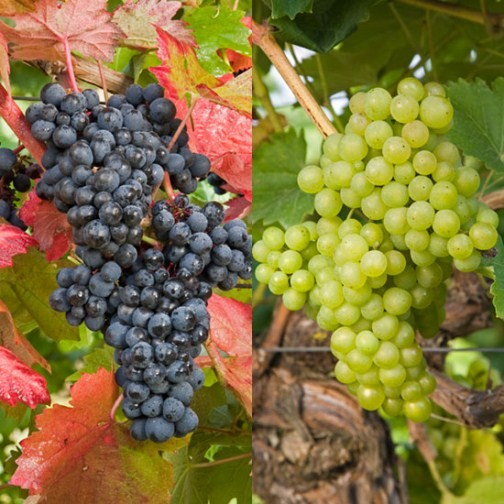 Outdoor Grape Collection (2 Pot Grown Vines) - Click Image to Close