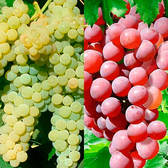 Seedless Grape Collection (2 Pot Grown Vines)