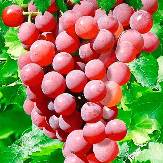 how to grow grape vines in pots