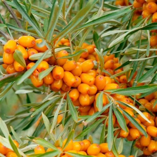 Sea buckthorn hedging 12 plants hed004 pomona fruits buy fruit trees soft fruit bushes - Growing sea buckthorn ...