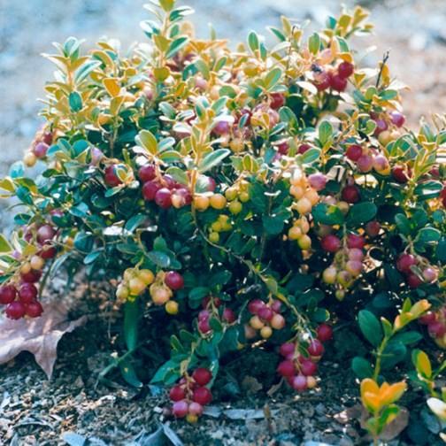 lingonberry bush 39 red pearl 39 3 plants. Black Bedroom Furniture Sets. Home Design Ideas