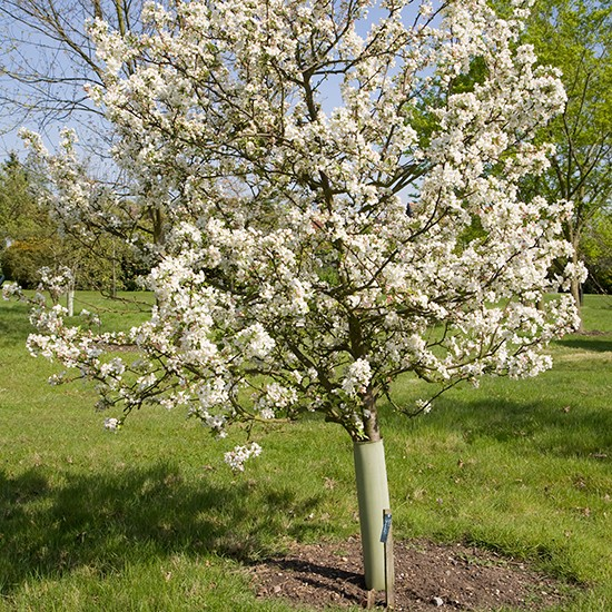 Malus 'Evereste' (Crab Apple Tree) - Click Image to Close