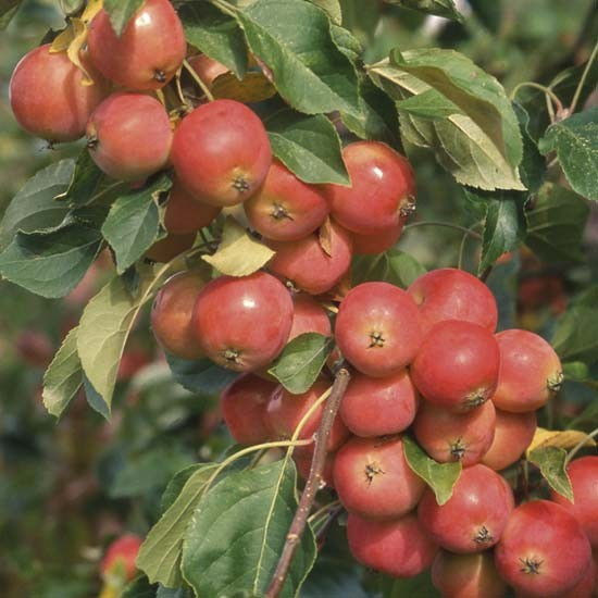 Crabapple Trees In Fruit