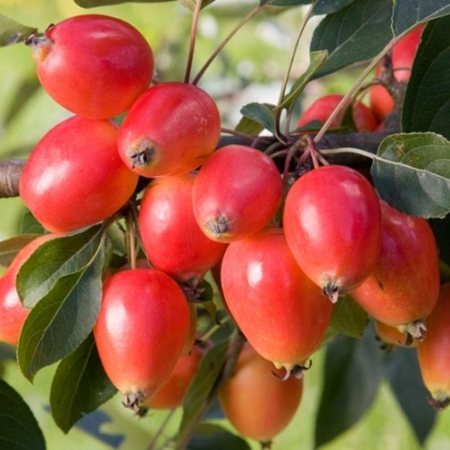Buy Fruit: Malus 'John Downie' (Crab Apple Tree) : Pomona Fruits, Buy Fruit Trees, Soft Fruit Bushes, Apple