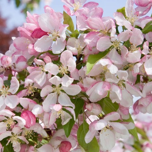 Malus 'John Downie' (Crab Apple Tree) - Click Image to Close