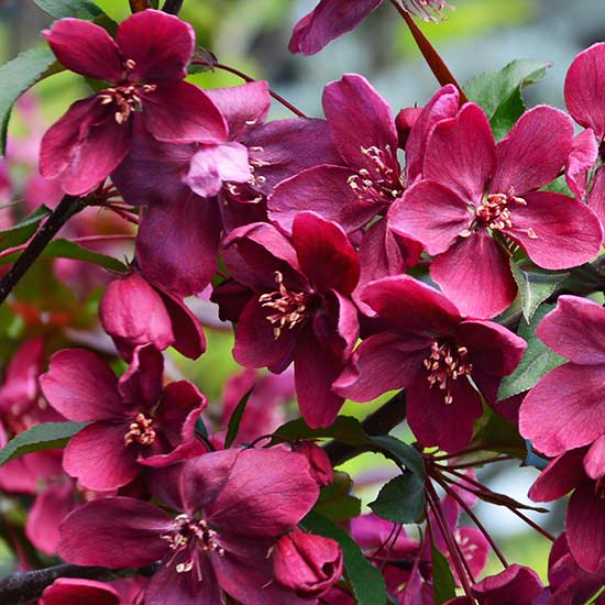 Malus 'Royalty' (Crab Apple Tree) - Click Image to Close