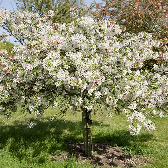 Malus 39 sun rival 39 crab apple tree for Crabapple tree