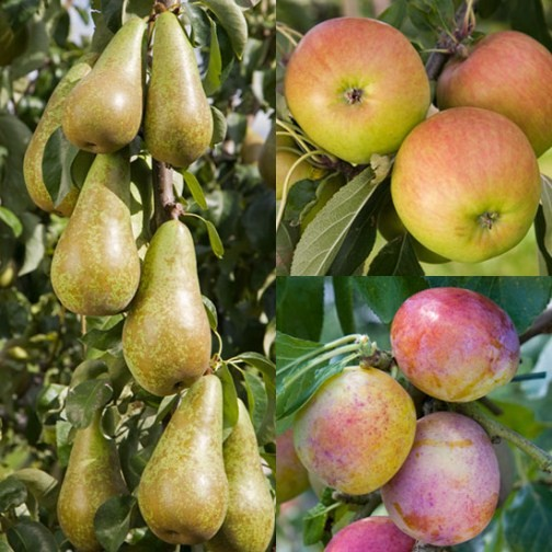 Cordon Apple, Pear & Plum Collection (3 Trees) - Click Image to Close