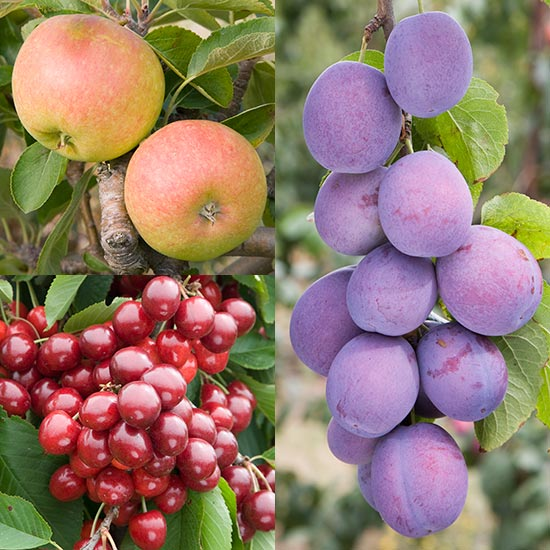 Fruit Trees & Bushes Cordon Apple, Plum & Cherry Collection (3 Trees)