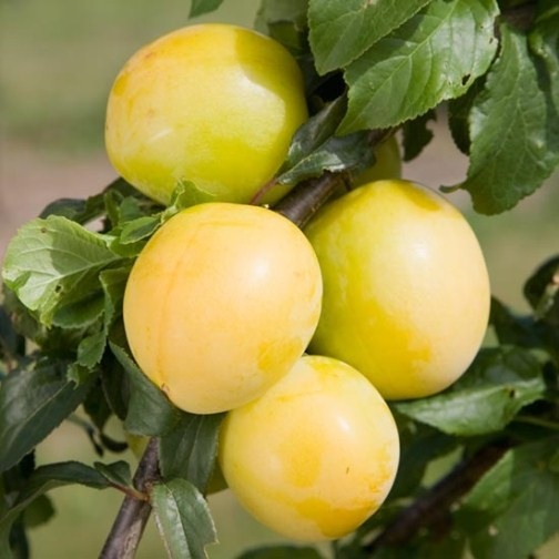 how to grow italian plum tree from seed