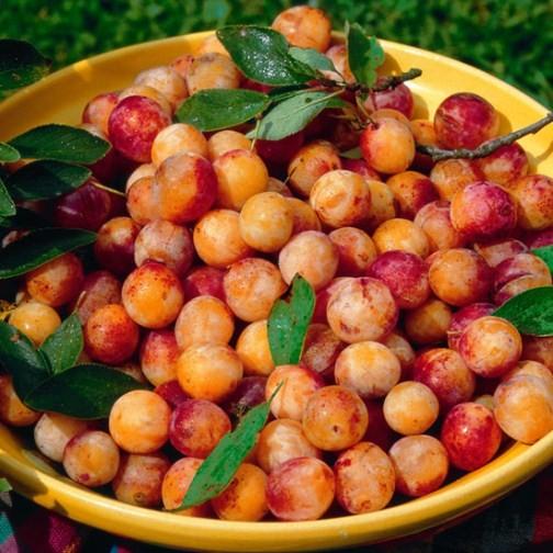 Buy Fruit: Mirabelle Plum Tree 'Mirabelle De Nancy' : Pomona Fruits, Buy Fruit Trees, Soft Fruit Bushes