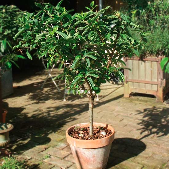 Sibley 39 S Patio Medlar Pomona Fruits Buy Fruit Trees